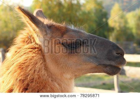 Lama Glama Portrait