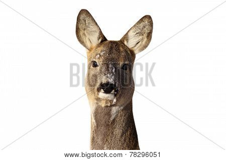 Roe Deer Doe Portrait