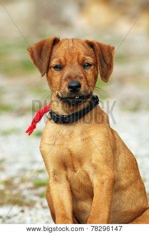 Young Hunting Dog Looking At Camera