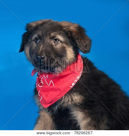 Black And Red Shaggy Puppy In Red Bandanna On Blue
