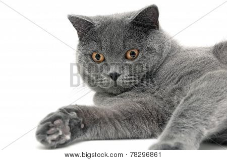 Portrait Of A Gray Cat Breeds Scottish Straight On White Background