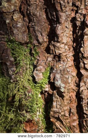 cáscara de árbol de pino