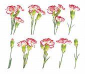 stock photo of carnation  - Set of carnation flowers isolated on white background - JPG