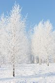 stock photo of birchwood  - Birchwood in hoarfrost on a sunny winter day. Latvia