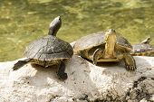 pic of cooter  - wild turtle in everglades florida national park - JPG