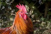 picture of darjeeling  - Colorful rooster outside Darjeeling, West Bengal, India. ** Note: Visible grain at 100%, best at smaller sizes - JPG