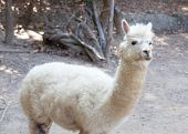 picture of alpaca  - Portrait of Fluffy young Alpaca  - JPG