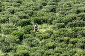 picture of tamil  - Tamil pickers collecting tea leaves on plantation West Bengal - JPG