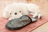 image of golden retriever puppy  - golden retriever puppy playing with slippers at room - JPG