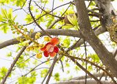 stock photo of cannon  - Sala or Cannon Ball Cannon Ball Tree Sal Tree Sal of India Couroupita guianensis Aubl - JPG