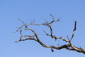 image of emaciated  - branch of dead tree on a blue sky background - JPG