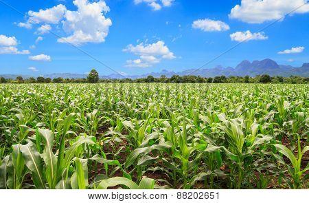 Corn farm and blue sky in thailand