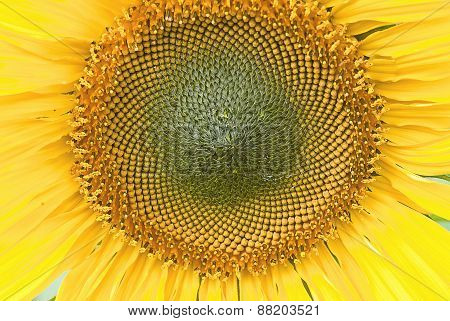Beutiful Close-up Sunflower