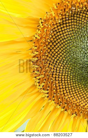 Beutiful Close-up Sunflower In Cultivated Agricultural Field