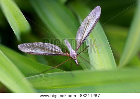 European Crane Fly - Tipula species