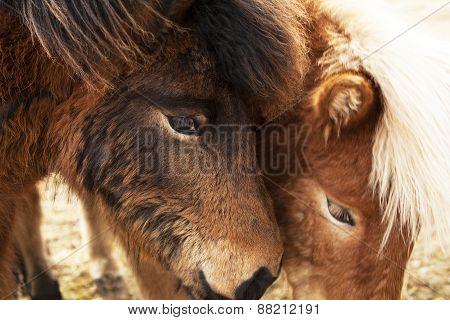 Closeup Of Brown Icelandic Ponies