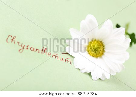 Beautiful chrysanthemum with inscription on green paper background