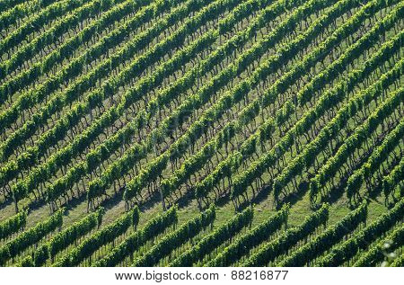 Rows of vineyard in sumemr