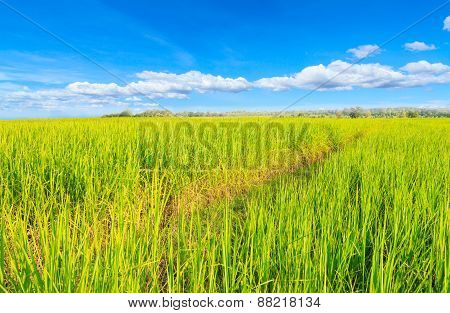 Paddy and blue sky