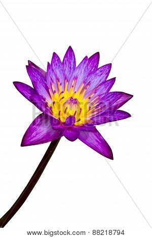 Pink Lotus Isolated On White Background, Clipping Path Included