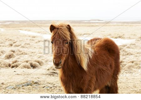 Portrait Of A Brown Icelandic Pony