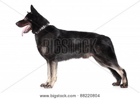 East European Shepherd In Stand