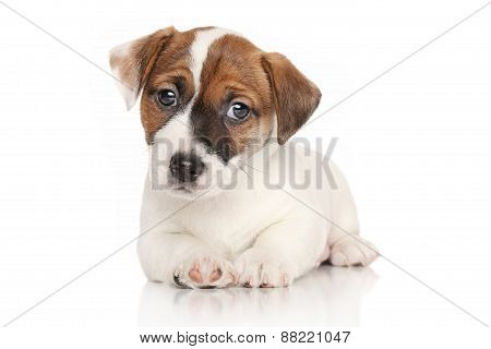 Jack Russell Puppy Lying Down