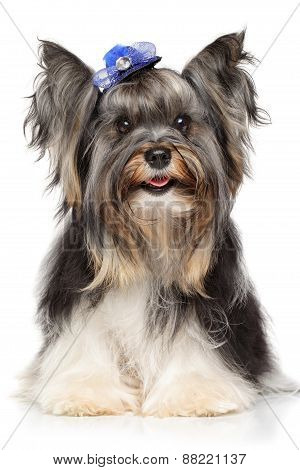 Portrait Of A Biewer Yorkshire Terrier