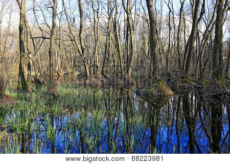 Flooded forest at spring time