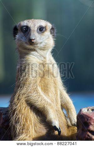 Meerkat (suricata Suricatta)