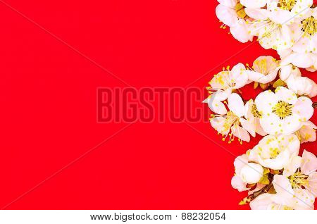 Apricot branch with blossom isolated on red