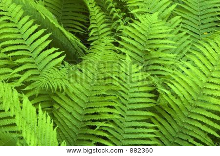 Fern In The Bialowieza Forest