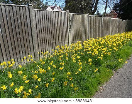 Daffodil Flowers Pathway