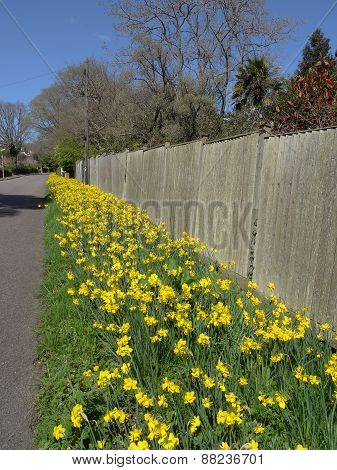 Daffodil Flowers Pathway