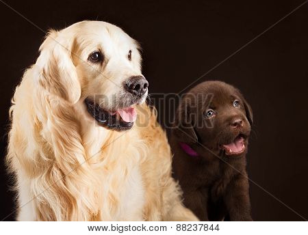 labrador retriever, gold and chocolate together portrait