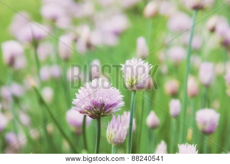 beautiful flowers decorative onion field. Allium schoenoprasum