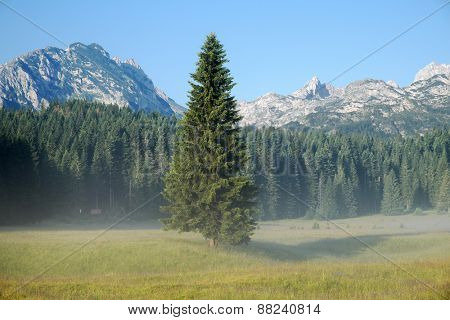 detached fir tree and forest in Durmitor Park, Montenegro