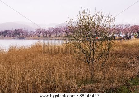 Cherry Blossoms And Reeds