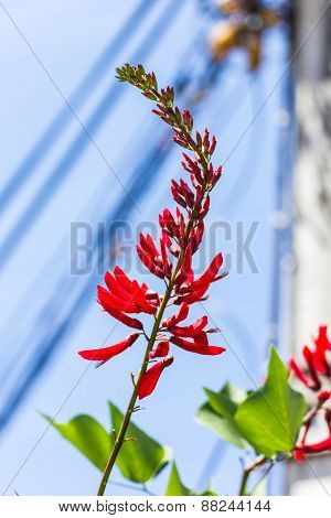 Erythrina Variegata (parichat Flowers)
