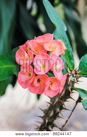 Crown Of Thorns Flower