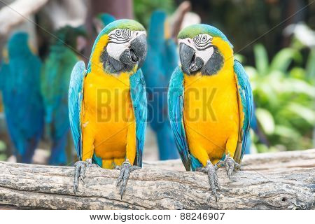 A Pair Of Blue-and-yellow Macaws Perched In The Jungle.