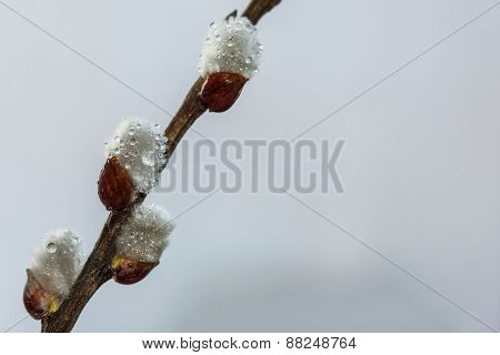 Willow Catkin Twig Drops Rain