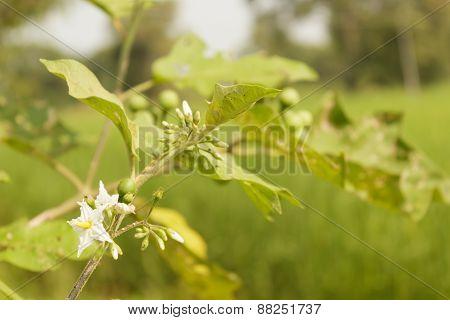 Solanum Torvum Sw.