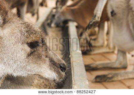 Kangaroos Eating