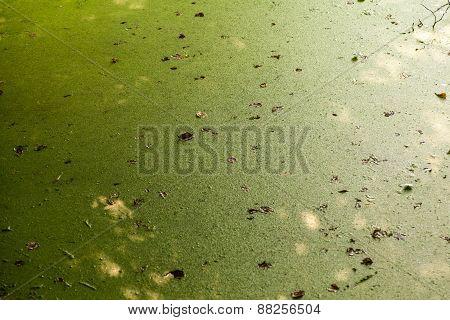 Green water algae