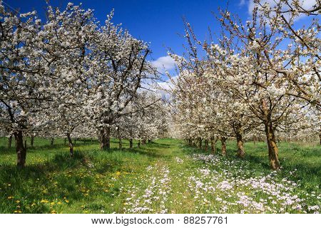 Cherry Tree Orchard In Spring