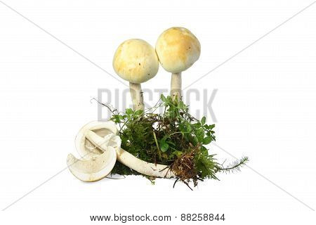 mushroom abruptly-bulbous agaricus (Agaricus abruptibulbus) i