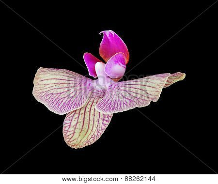 pink orchid flower isolated on black