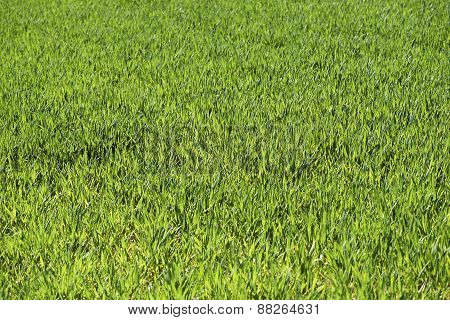 Green Field With Low Deep Focus