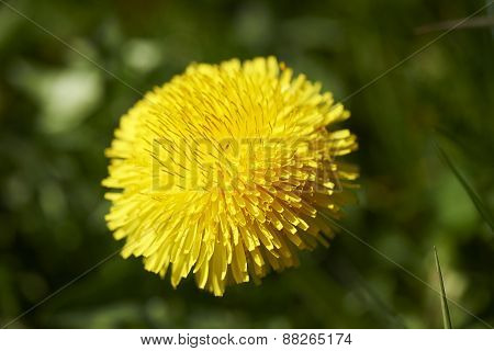 Green Grass With Dandelion In Macro